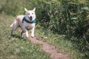 כלב בורח