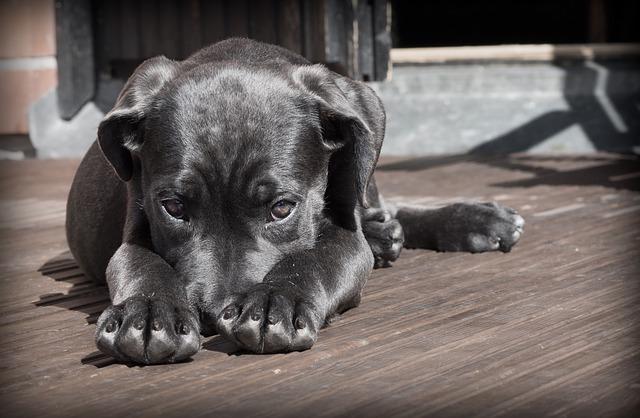 חומרים מומלצים לשימוש נגד פרעושים וקרציות אצל כלבים